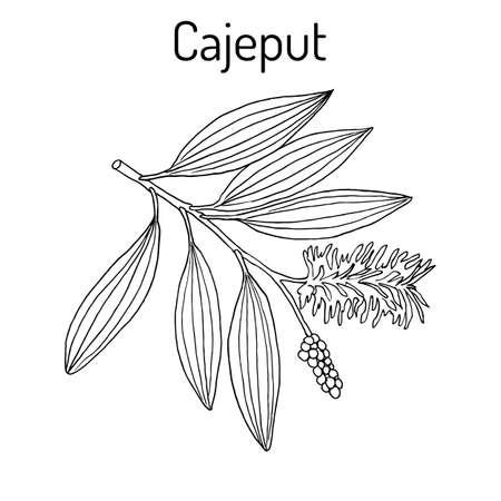 Cajeput Melaleuca leucadendron , or weeping paperbark, medicinal plant