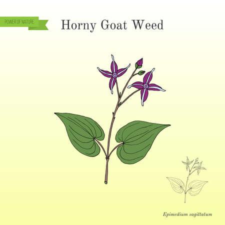 A Horny Goat Weed Epimedium sagittatum medicinal plant