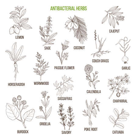 Best antibacterial herbs isolated on white