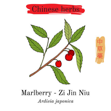 Medicinal herbs of China. Marlberry Ardisia japonica on white background.