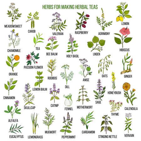 Best herbs for teas on white background, vector illustration.