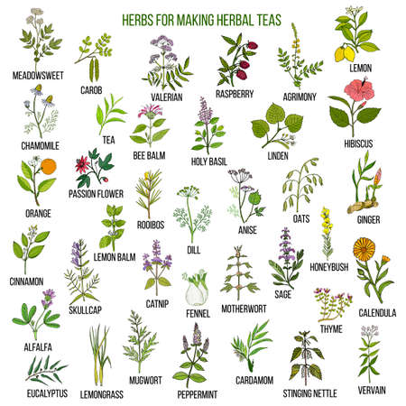 Best herbs for teas on white background, vector illustration.