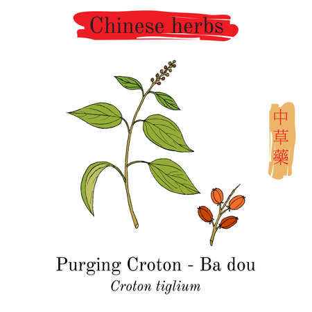 Medicinal herbs of China. Purging croton, vector illustration.
