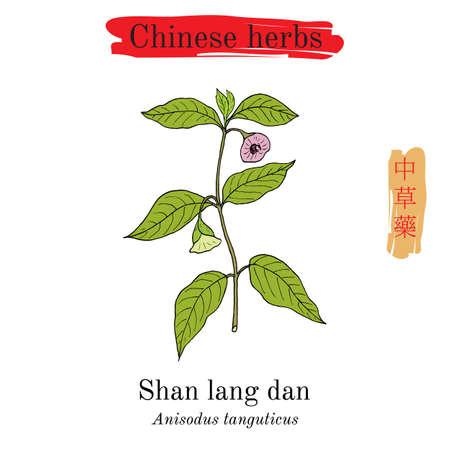 Medicinal herbs of China. Anisodus tanguticus, vector illustration.