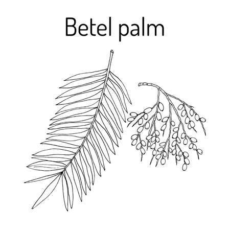 Betel palm Areca catechu , or Indian nut