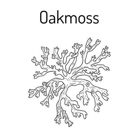 Oakmoss Evernia prunastri , medicinal plant. Illustration