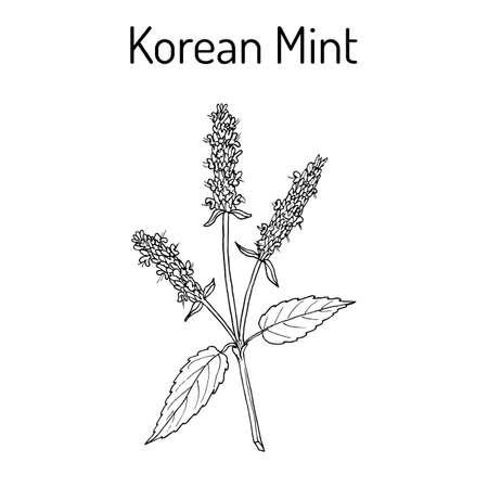 Korean mint Agastache rugosa , medicinal plant 版權商用圖片 - 91726554