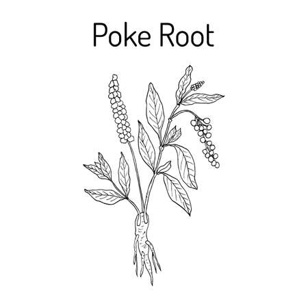 Poke root Phytolacca americana medicinal plant