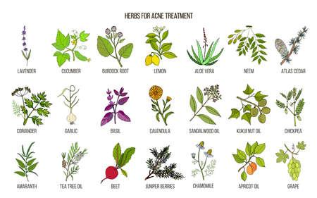 Le migliori erbe per il trattamento dell'acne. Insieme di vettore disegnato a mano delle piante medicinali
