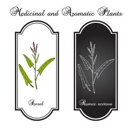 Common sorrel Rumex acetosa , garden plant. Hand drawn botanical vector illustration Ilustracja