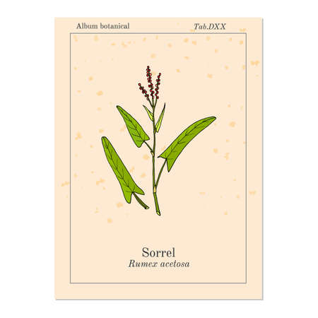 Common sorrel rumex acetosa, garden plant. Hand drawn botanical vector illustration
