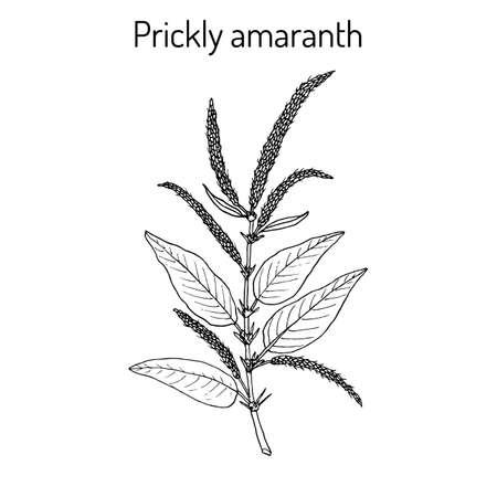 Prickly Amaranth Amaranthus spinosus , or Needle burr, medicinal plant. Hand drawn botanical vector illustration