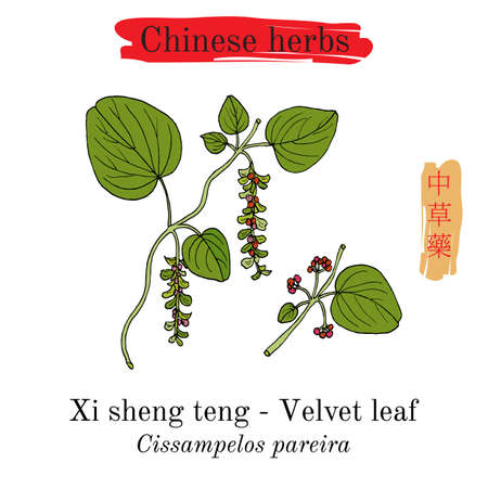 Medicinal herbs of China. Velvetleaf