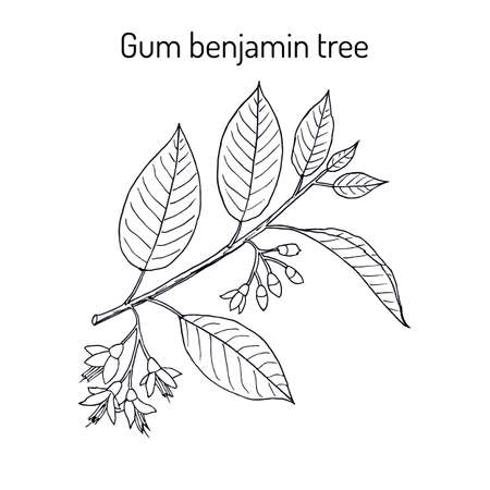 Gum benjamin tree or Styrax benzoin isolated on white. Medicinal plant.