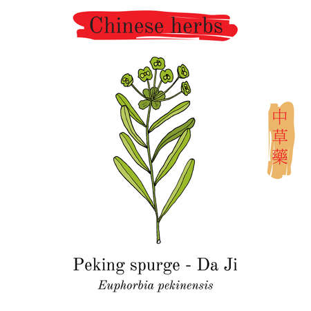 Medicinal herbs of China. Peking spurge (Euphorbia pekinensis). Hieroglyph translation: Chinese herbal medicine