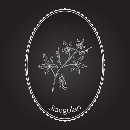 Jiaogulan Gynostemma pentaphyllum  medicinal plant illustration.