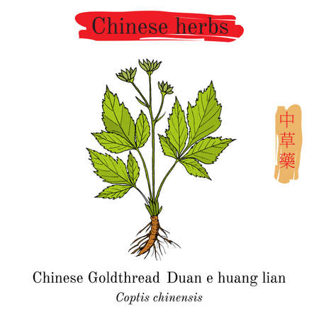 Medicinal herbs of China. Goldthread Coptis chinensis Illustration