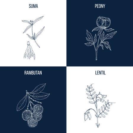 Vector collection of four hand drawn medicinal and eatable plants, suma, peony, rambutan, lentil.