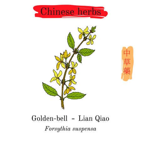 Medicinal herbs of China. Golden bell Forsythia suspensa illustration.