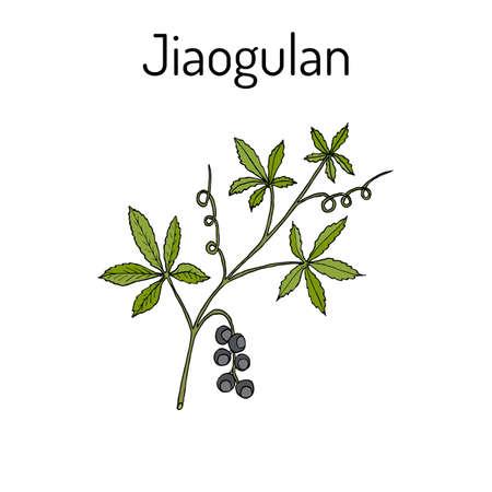 Jiaogulan Gynostemma pentaphyllum , medicinal plant. Hand drawn botanical vector illustration
