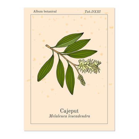 Cajeput Melaleuca leucadendron, or weeping paperbark, medicinal plant. Hand drawn botanical vector illustration.