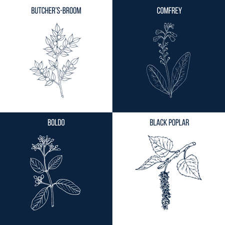 Vector collection of four hand drawn medicinal and eatable plants, butcher broom, comfrey, boldo, black poplar
