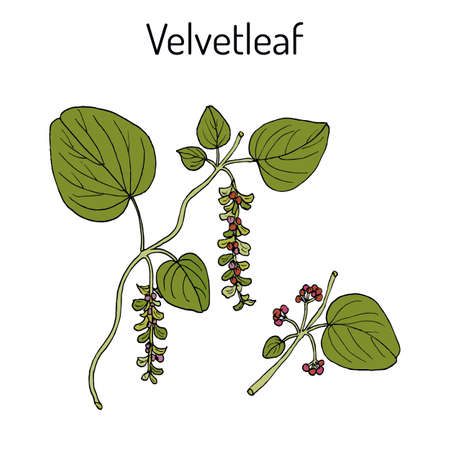 Velvetleaf Cissampelos pareira , medicinal plant. Hand drawn botanical vector illustration