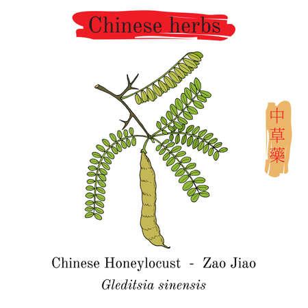 Medicinal herbs of China. Chinese honeylocust Gleditsia sinensis