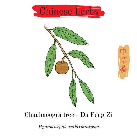 Medicinal herbs of China. Chaulmoogra tree Hydnocarpus anthelminticus illustration.