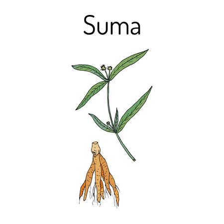 Suma root pfaffia paniculata, or brazilian ginseng illustration. Vectores
