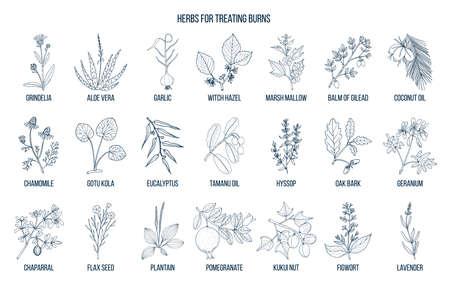 Collection des meilleures herbes pour le traitement des brûlures Vecteurs