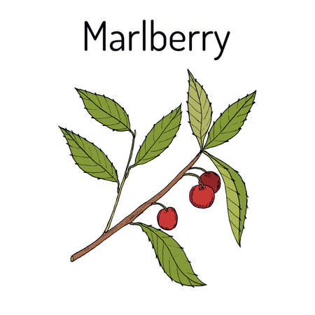 Marlberry Ardisia japonica , medicinal plant. Hand drawn botanical vector illustration