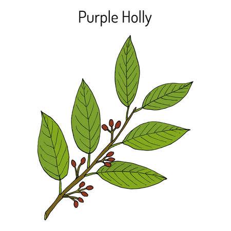 Purple holly Ilex purpurea , medicinal plant  イラスト・ベクター素材