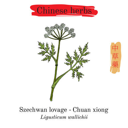 Medicinal herbs of China. Szechwan lovage