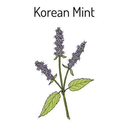 Korean mint Agastache rugosa , medicinal plant