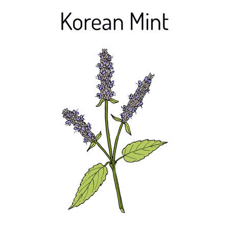 Korean mint Agastache rugosa , medicinal plant Illustration