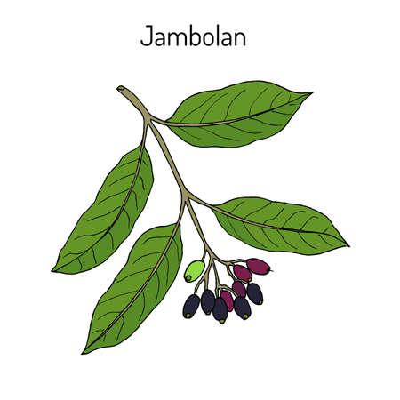 Jambolan Syzygium cumini , or Java plum, medicinal plant