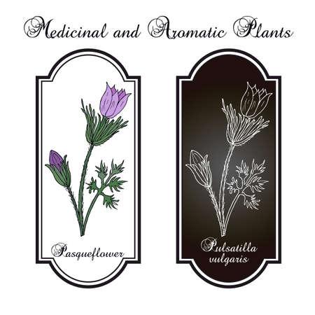 Pasqueflower pulsatilla vulgaris , medicinal plant