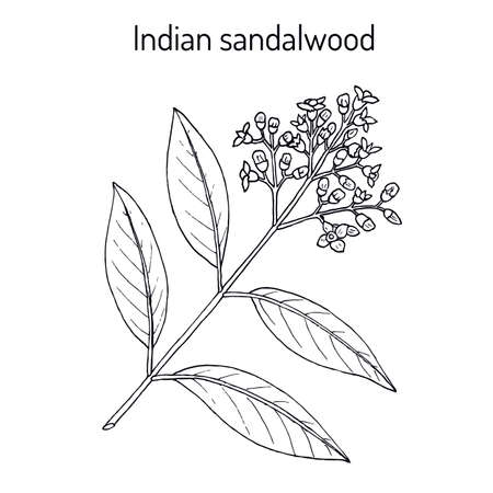 Indian sandalwood Santalum album , medicinal plant