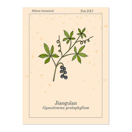 Jiaogulan Gynostemma pentaphyllum , medicinal plant