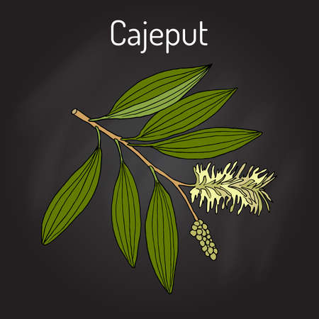 Cajeput Melaleuca leucadendron, or weeping paperbark, a medicinal plant. Hand drawn botanical vector illustration Illustration