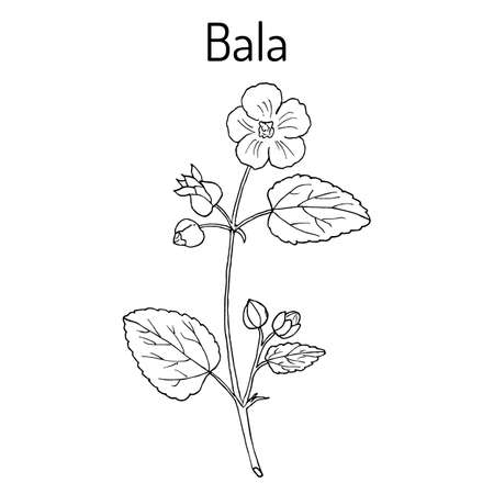 Bala sida cordifolia , or country mallow, flannel weed, medicinal plant