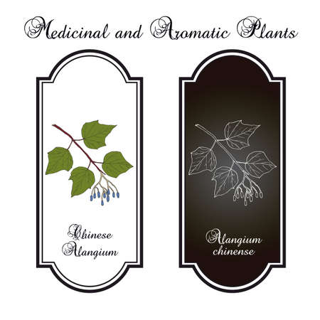 Alangium chinense, medicinal plant. Hand drawn botanical vector illustration