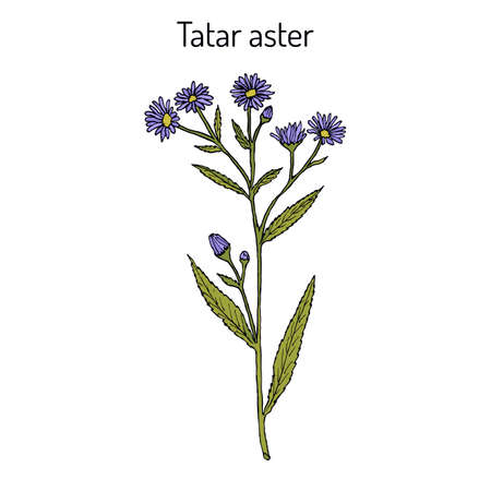 Tatarinows aster A. tataricus , medicinal plant. Hand drawn botanical vector illustration
