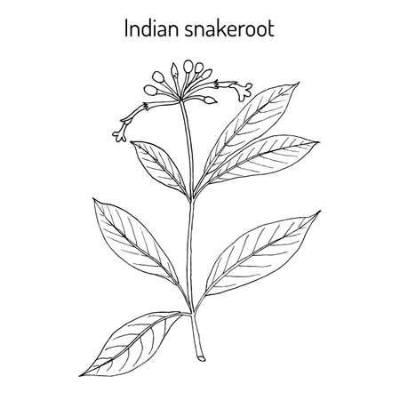 Indian snakeroot Rauwolfia serpentina , medicinal plant. Hand drawn botanical vector illustration