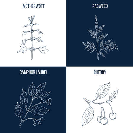 Vector collection of four hand drawn medicinal and eatable plants, motherwort, ragweed, camphor laurel, cherry