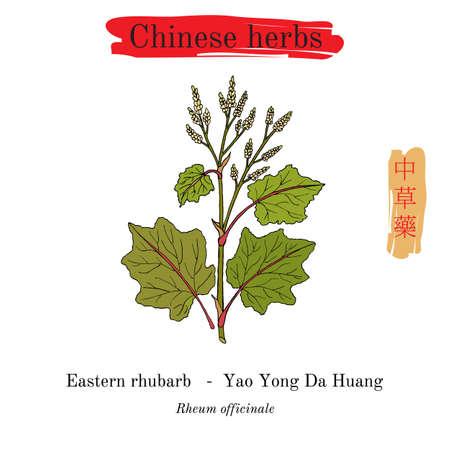 Medicinal herbs of China. Eastern rhubarb Rheum officinale Illustration