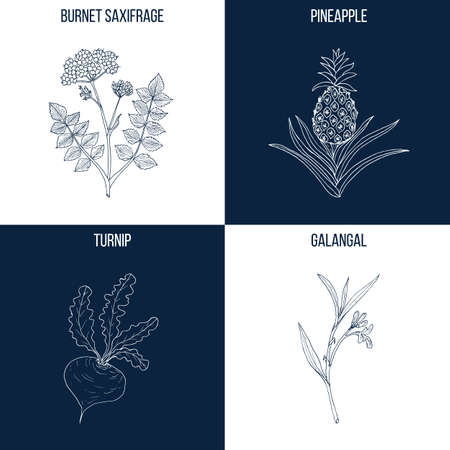 Set of four hand drawn eatable and medicinal plants Vector illustration. Stock Vector - 95648298