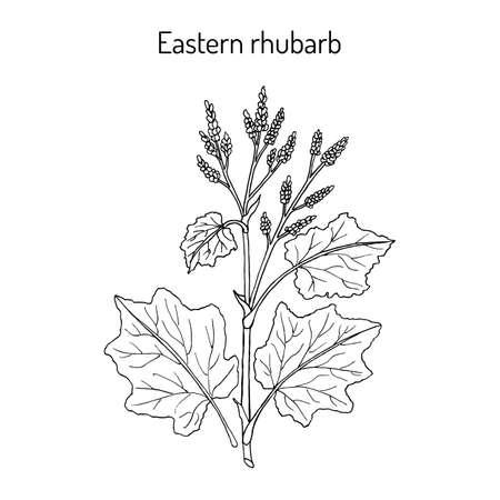 Eastern rhubarb Rheum officinale, medicinal plant Vector illustration.