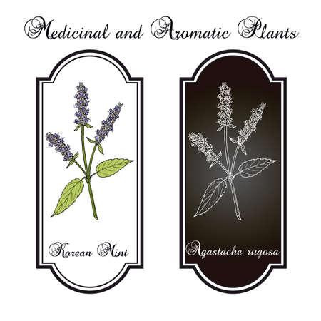 Korean mint Agastache rugosa, medicinal plant Vector illustration.